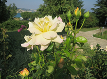 Розы распускались в нашу честь